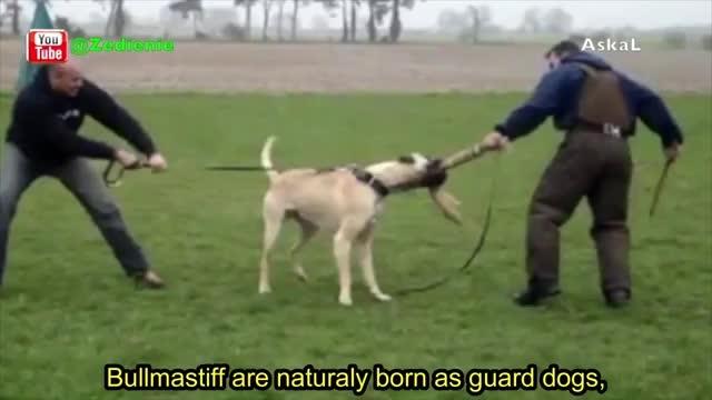 10 تا از خطرناکترین سگ ها در دنیا !