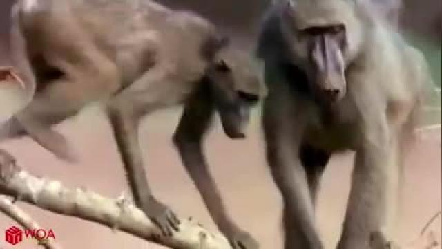 جنگ حیوانات ، میمون ها و کروکدیل ها !