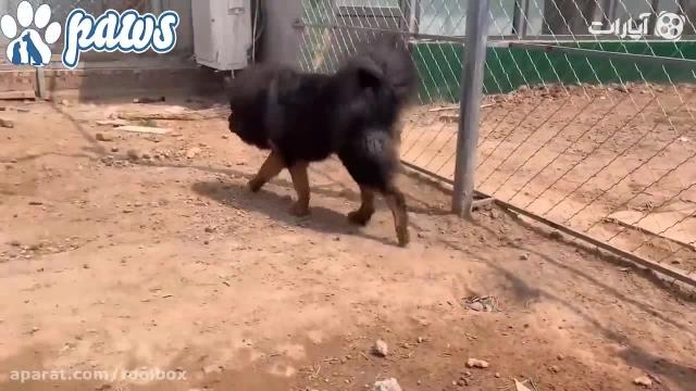 آیا سگ ماستیف ، حریف گرگ میشود؟