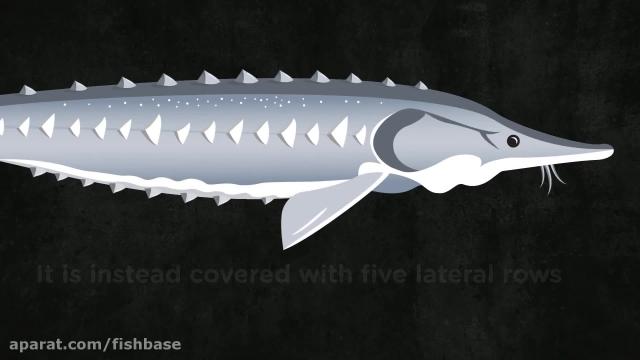 ماهی دیدنی تاسماهی ، فسیل زنده