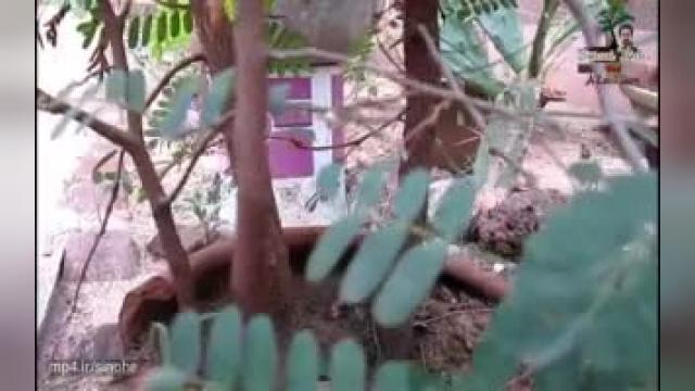 نحوه صحیح کاشت درختچه بونسای از دانه تمبر هندی