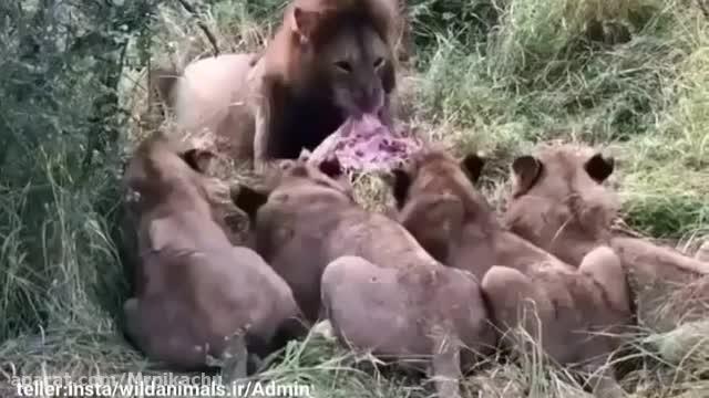 ویدیو حیوانات ، شیر ها در جنگل !