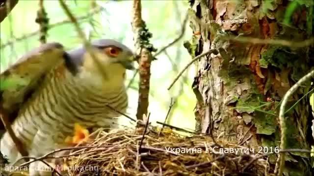 کلیپ بسیار زیبا پرنده و راز بقا !