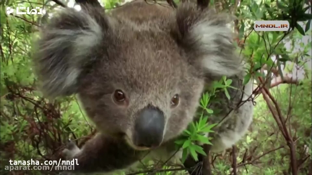 کلیپ دیدنی از حیات وحش استرالیا !