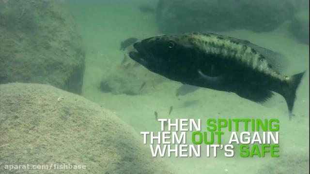 ماهی دیدنی سیکلیده ، نگهداری از نوزادان در دهان