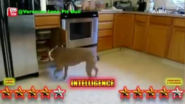 مقایسه شیر و سگ پیت بول !