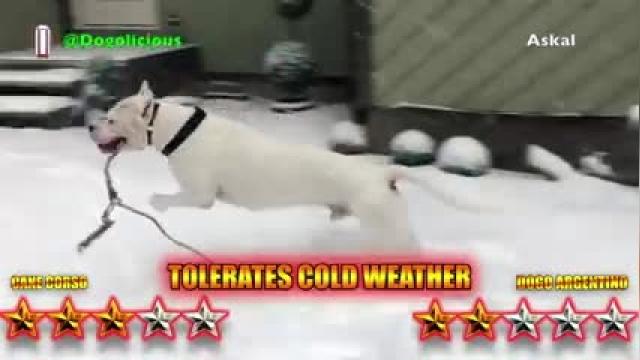 مقایسه Cane Corso و Dogo Argentino