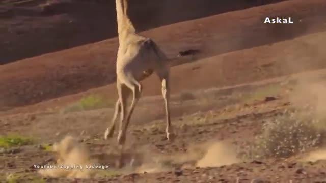 10 حیوانی که میتوانند شیر را شکست دهند !